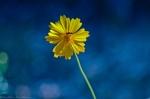 HSNP Lanceleaf Coreopsis Wildflower