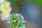 HSNP Mountain Mint Wildflower Wasp