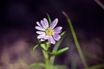HSNP Purple Aster Wildflower