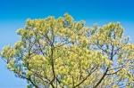 HSNP Short Leaf Pine