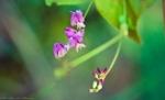 HSNP Floral Trail Bush Clover