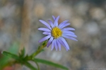 HSNP Goat Rock Trail Aster Wildflower