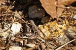 HSNP Goat Rock Trail Baby Prairie Lizard