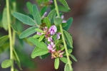 HSNP Goat Rock Trail Bush Clover