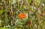 HSNP Goat Rock Trail Butterfly Weed