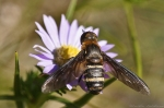 HSNP Goat Rock Trail False Bee on Aster