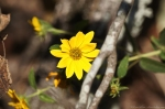 HSNP Goat Rock Trail Woodland Sunflower