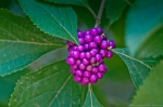 HSNP Upper Dogwood Trail American Beauty Berry