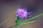 HSNP North Mountain Blazing Star