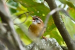 HSNP North Mountain Carolina Wren Chick