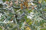 HSNP North Mountain Tufted Titmouse