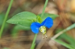 HSNP North Mountain Asiatic Dayflower