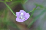 HSNP Hot Springs Mountain Purple wildflower