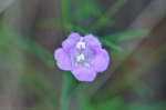 HSNP Hot Springs Mountain Unknown Purple wildflower