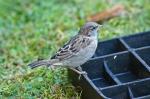 HSNP Juvenile House Sparrow