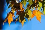 HSNP Autumn Leaves