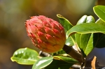 HSNP Magnolia Seed Pod