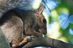 HSNP Squirrel in a Tree