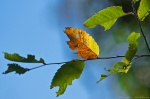HSNP North Mountain Autumn Leaf