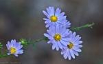 Cedar Glades Park Blue Trail Aster