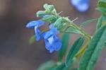 Cedar Glades Park Blue Trail Blue Sage