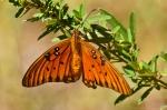 Cedar Glades Park Blue Trail Gulf Fritillary