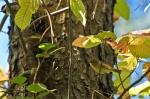 Cedar Glades Park Blue Trail Vireo