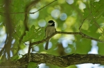 HSNP Carolina Chickadee