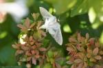 HSNP Delicate Cycnia Moth