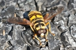 HSNP False Bee