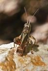 HSNP Grasshopper