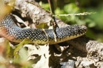 HSNP Speckled King Snake