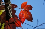 HSNP Red Leaves