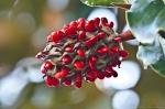 HSNP Scarlet Magnolia Seeds