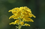 CGP Blue Trail Goldenrod