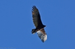 HSNP Goat Rock Trail Turkey Vulture