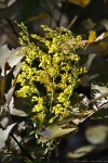 HSNP Goat Rock Trail Goldenrod