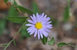 HSNP West Mountain Trail Loop Aster