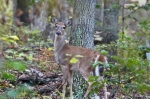 HSNP Honeysuckle Trail Autumn Whitetail Deer