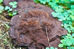 HSNP Hot Springs Mt Trail Dark Brown Fungus