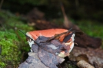 HSNP Hot Springs Mt Trail Red Fungus