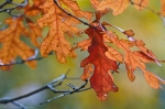 HSNP Hot Springs Mt Trail Rust Autumn Leaves