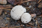 HSNP Hot Springs Mt Trail Speckled Fungi