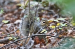 HSNP Peak Trail Autumn Squirrel