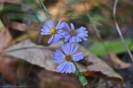CGP Blue Trail Autumn Forest Aster