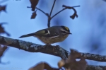 HSNP Goat Rock Trail Golden Crowned Kinglet