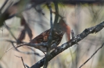 HSNP Goat Rock Trail Thrush
