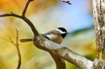 HSNP Gulpha Gorge Trail Carolina Chickadee