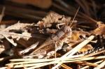 HSNP Gulpha Gorge Trail Grasshopper