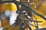 HSNP North Mountain Autumn Carolina Chickadee